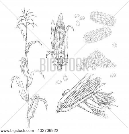 Hand Drawn Corn. Sweet Maize Cobs. Grains And Leaves Sketch For Food Package Labels And Restaurant M