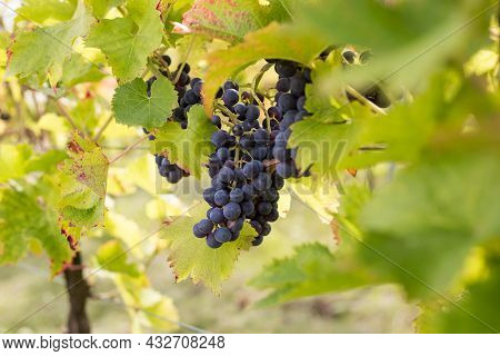 Red Grapes On Vine Stock At Wine Yard. Planting In The Organic Vineyard Farm To Produce The Red Wine