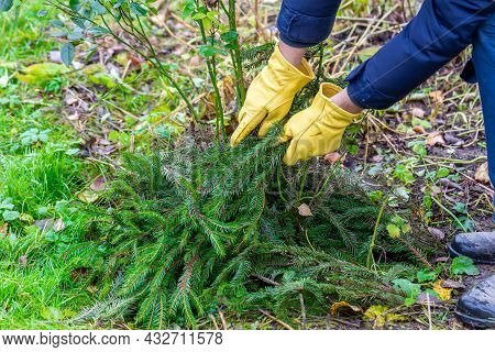 Shelter Of Roses With Spruce Branches. Spruce Branches In The Hands Of A Gardener. Garden Work.