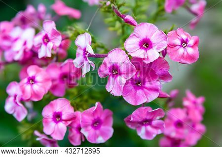 Phlox Flowers. Beautiful Inflorescences Of Pink Phlox On A Blurred Plant Background With Bokeh Effec