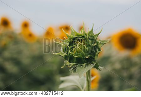 The Closeup Of Beautiful Yellow Sunflower Bud. Flower Natural Background. Harvest Time Agriculture F