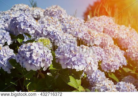 Hortensia Flowers Against Blue Sky With Sunbeams In The Right Corner In Brittany, France