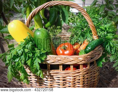 Basket With Fresh Vegetables In The Garden. The Harvest Of Zucchini, Tomato, Carrot, Cucumber, Green