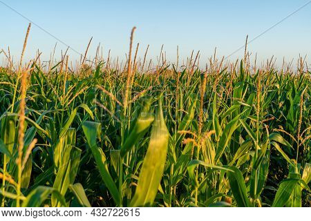 Agriculture In France Is Bretagne Region. Fields Of Ready To Harvest Corn In Late Summer. Cultivatio