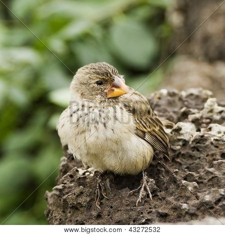 Tree Finch Bird