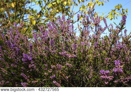 Blooming Heather In The Forest. The Medicinal Plant Is Used In Medicine. Beautiful Forest Landscape