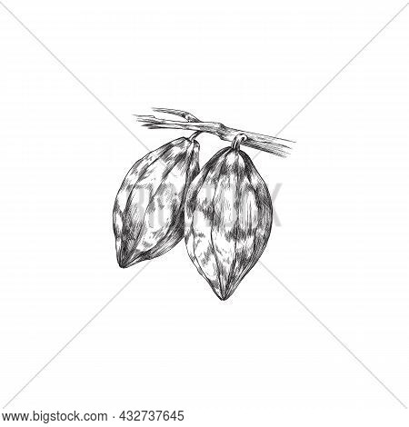Branch Of Chocolate Cacao Plant With Cocoa Beans A Vector Engraved Illustration.
