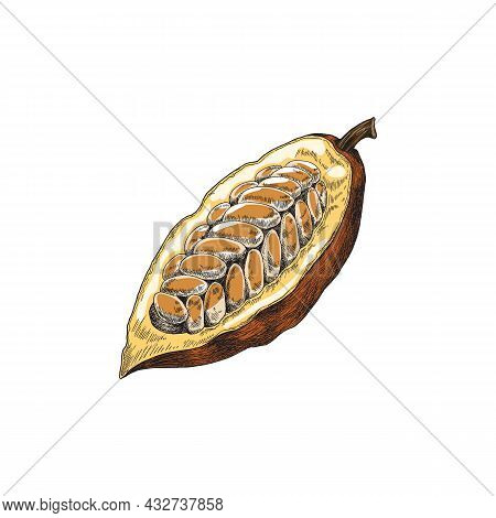 Half Bean Of Chocolate Cacao Plant With Seeds A Vector Sketch Illustration.