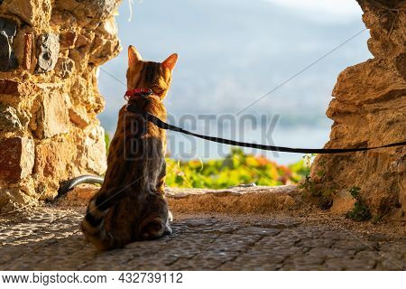 A Bengal Cat Sits On A Leash And Looks Into The Distance Through A Hole In A Stone Wall.