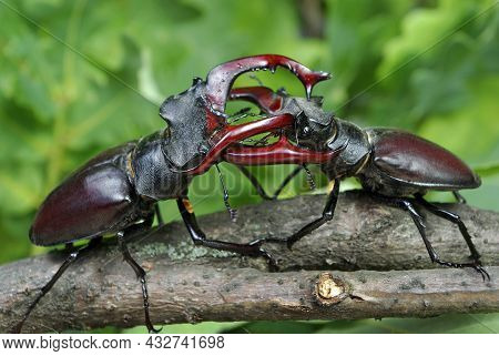 Stag Beetles. Duel Of Two Males. Close Up.