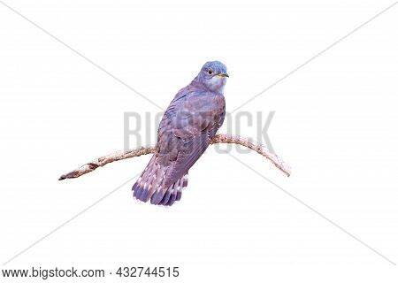Beautiful Of Smallest Cuckoo Bird And Very Rare , Indian Cuckoo (cuculus Micropterus) Isolated On Wh