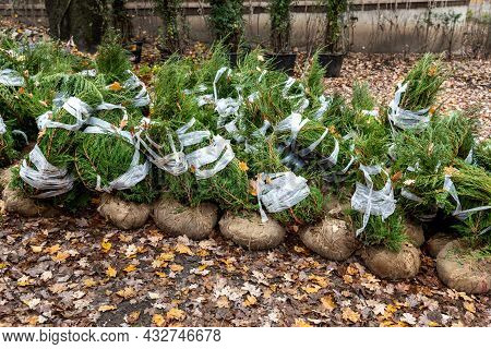 Row Of Many Thuja Or Cedar Wrapped Tree Aaplings Delivering From Plant Nursery And Seedlings For Gar