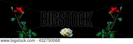 Flowers Of Red And White Roses On A Black Background. Blooming Flowers. Red Rose. Night Darkness. Da