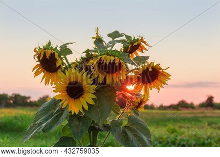 Top Of A Single Flowering Sunflower Plant On The Field Against The Evening Sky With Setting Sun In B