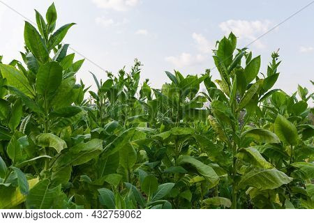 Planting Of Flowering Tobacco With Flowers And Flower Buds On The Tops Of Stems Against The Sky In S