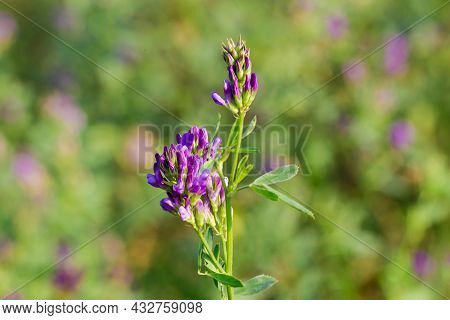 Stem Of Alfalfa With Flowers And Flower Buds On Field On A Blurred Background, Close-up At Selective