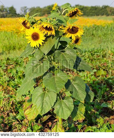Single Sunflower With Several Flowers Growing On The Field In Summer Morning