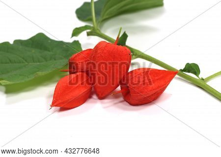 Alkekengi Physalis Peruviana Orange Fruit Alkekengi Physalis Peruviana Orange Fruit