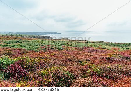 Stunning Landscape Of Irish Sea With Colorful Heather On Edge Of The Cliff, Anglesey, Wales, Uk