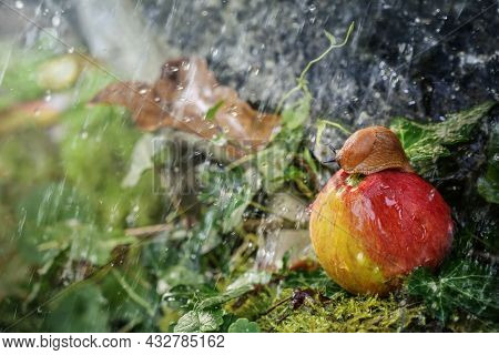Autumn Weather, Red Slug Sitting In The Rain On An Apple In The Moss Between Brown And Green Leaves,