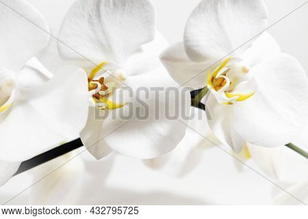 White Orchid Flowers Close-up On A White Background. Floral White Background. Home Tropical Plants.