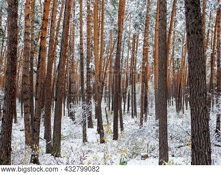 Forest In The Snow. Winter Picture. The Sun's Rays Make Their Way Through The Dense Coniferous Snowy