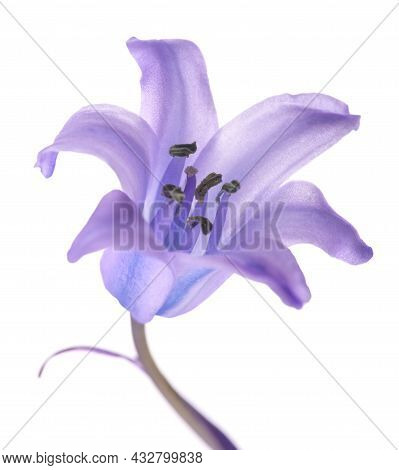 Common Bluebell Flower Isolated On White Background