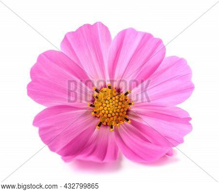 Pink Garden Cosmos Flower Isolated On White