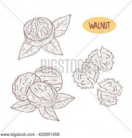 Walnut. Leaves, Fruit. Sketch A Drawing On A White Backgroundset