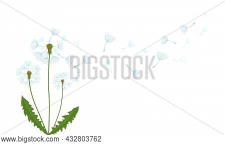 Airy Fading White Dandelion. Flat Vector Illustration Isolated On White Background