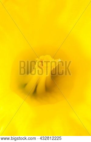 Macro Close-up Of The Centre Of A Bright And Vivid Yellow Daffodil Flower