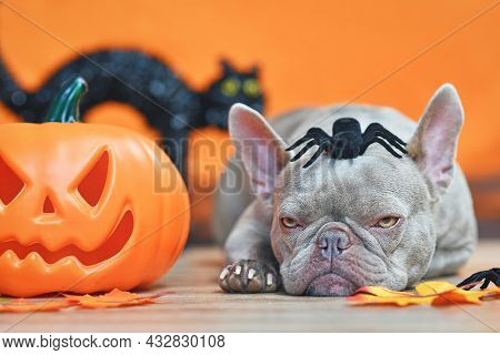 Grumpy Halloween French Bulldog Dog With Carved Pumpkin, Autumn Leaves, Spider On Head And Black Cat