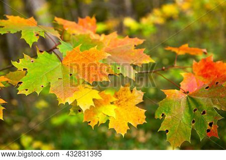 Colorful Maple Leaves On The Tree In Autumn - With Red, Yellow And Green Spots. Autumn Mood, Natural
