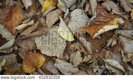 Dry Leaves. Dry Fallen Brown Leaves In Autumn Park. Autumn Background With Dry Leaves, Top View, Clo