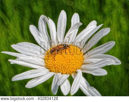 Longhorn Beetle Anastrangalia Reyi, A Species Of Beetle From Family Cerambycidae, Eats Pollen On A F