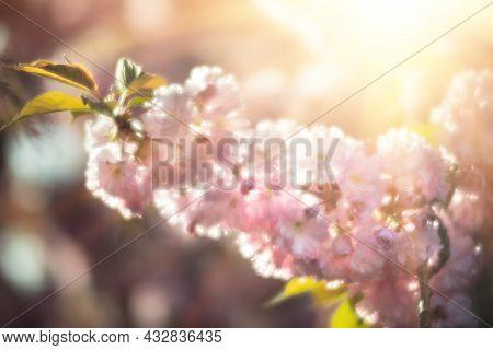 Blooming Sakura Tree In Spring