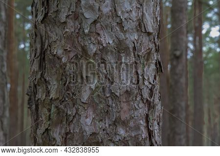 Pine Tree Trunk In A Pine Forest. Natural Bark Background, Texture, Abstract, Copy Space