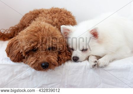 Two Small Dogs A White Pomeranian And Red Brown A Miniature Poodle Sleep Next To Each Other