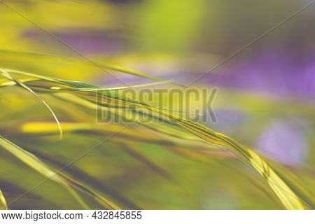 Hakone Japanese Grass Leaves Close Up. Grassy Cozy Autumn Yellow Background. Delicate Golden Leaves,