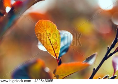 Bright Multicolored Leaves Of Black Chokeberry. Aronia Melanocarpa Leaf Close-up. Autumn Vivid Natur