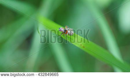 Overhead Shot Of A Maratus Splendens Peacock Spider Mating