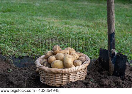 Digging Potatoes. Harvesting Potatoes In The Garden. Basket With Potatoes. Home Gardening