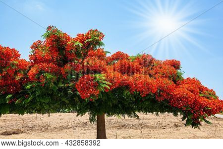 Festive bright orange blossom of a Royal Delonix or Fire Tree. Huge spreading crown of a picturesque tree. Apollonia Park, Israel. Mediterranean coast.