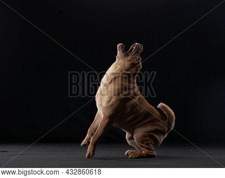 Shar Pei Dog Play On A Background On Black. Folds, Wrinkles, Charming Pet