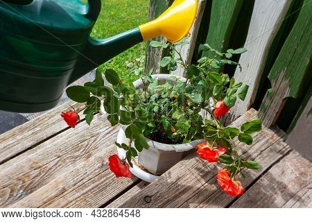 Watering Blooming Rose Bush From Green Plastic Watering Can. Old Wooden Porch In Country House. Rura