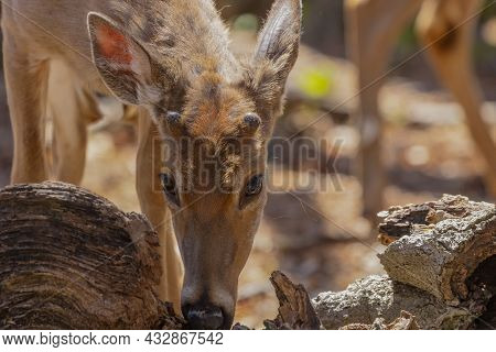 White -tailed Deer In The Spring As They Change Their Winter Coat To Summer And Grow New Antlers In