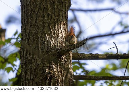 American Red Squirrel - Female, ((tamiasciurus Hudsonicus) Known As The Pine Squirrel, North America