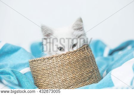 Small White Domestic Kitten In Basket  Lying On Bed With White Blanket Funny Pose. Cute Adorable Pet