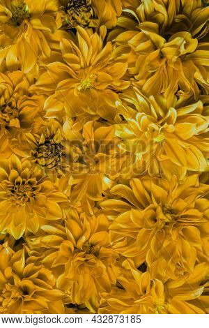 Close-up Of Yellow Chrysanthemum Flowers. Macro Photography Of A Blooming Pattern. Blooming, Natural
