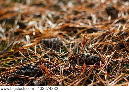 Defocus Group Of Brown Pines Among Dry Needles In The Forest In The Fall. Closeup Of Vibrant Falling